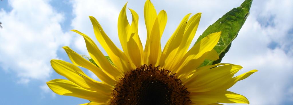 Royal Botanical Garden sunflower